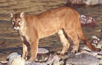 Cougar or mountain lion or puma or panther