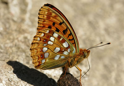 Dark Green Fritillary Buttefly, photo by Bohringer Friedrich