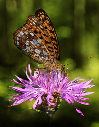 High Brown Fritillary Butterfly, photo by Richard Bartz