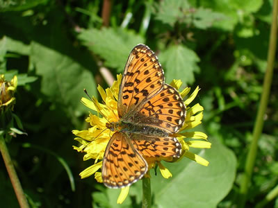 Pearl Bordered Fritillary Butterfly, photo by Michael Kranewitter