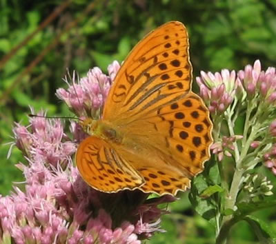 Silver Washed Fritillary Butterfly, photo by Hans Gasperl