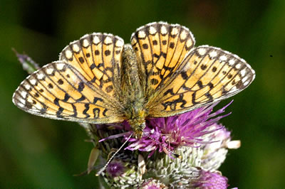 Small Pearl Bordered Fritillary Butterfly, photo by  James Lindsey