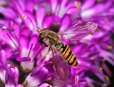 Hoverfly Marmalade Fly Episyrphus balteatus, photo by Joaquim Alves Gaspar