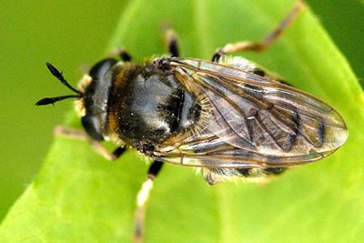 Hoverfly Microdon analis, photo by James Lindsey