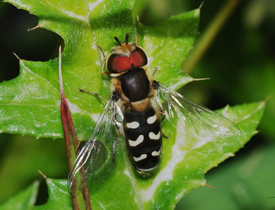 Hoverfly Scaeva pyrastri, photo by Joaquim Alves Gaspar
