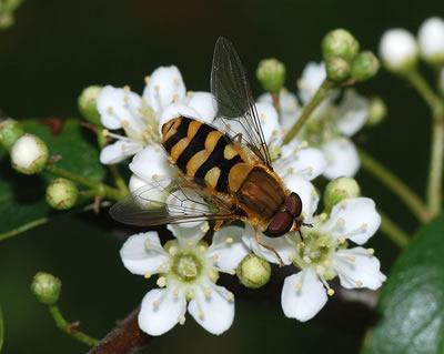 Hoverfly Syrphus ribesii, photo by Joaquim Alves Gaspar