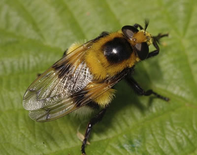 Hoverfly Volucella bombylans, photo by Rob Knell