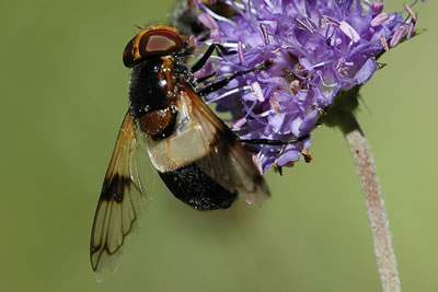 Hoverfly Volucella pellucens, photo by Christiane Svane