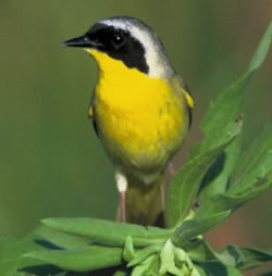 Common yellowthroat passerine