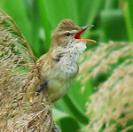 Great reed warbler; photo by Coniferconifer