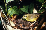 New world warbler - Kentucky warbler with young in nest