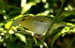 Leaf warbler (family Phylloscopidae) - yellow throated woodland warbler, photo by Alan Manson