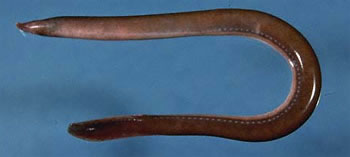 Atlantic hagfish