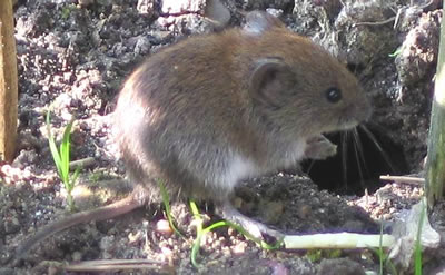 Bank vole, photo by Soebe