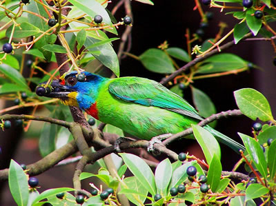 Black-browed barbet, an Asian barbet, photo by Charles Lam