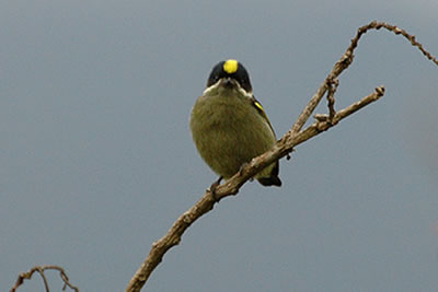 Western Green Tinkerbird, an African Barbet, photo  by Tom Tarrant