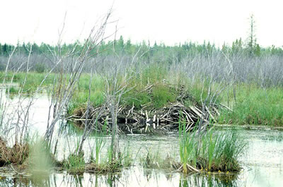 Beaver lodge at Wood Buffalo National Park; photo by Ansgar Walk