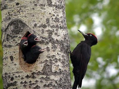 Black woodpecker with chicks, photo by Alastair Rae