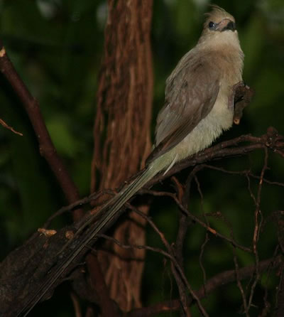 Blue-naped mousebird, photo by Alois Staudacher