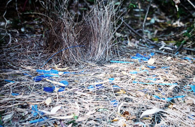 Bower of male satin bowerbird, photo by Mila Zinkova