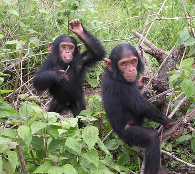 Young chimpanzees, photo by Delphine Bruyere