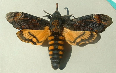 Death's head hawkmoth, photo by Jeff Delonge