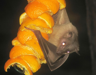 Egyptian fruit bat
