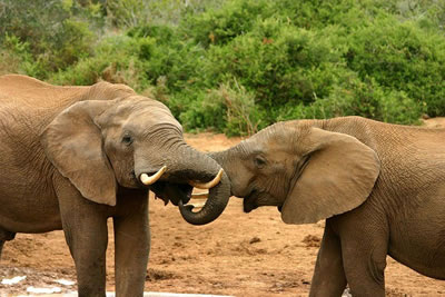 Elephant Courtship, photo by Charles J Sharp