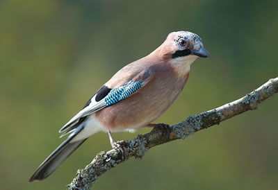 Eurasian jay, photo by Luc Viatour