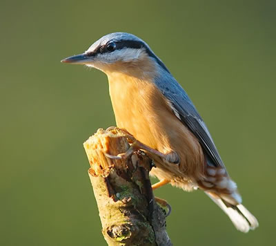 Eurasian nuthatch, photo by Luc Viatour