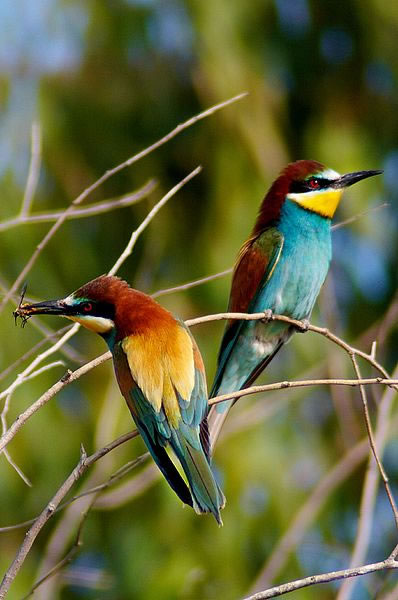 European bee-eaters, photo by Raul Baena