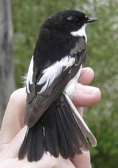 European Pied Flycatcher, photo by Aelwyn