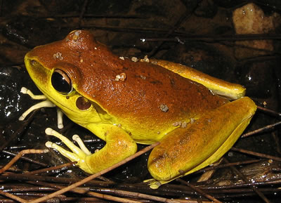 Male stoney creek frog.