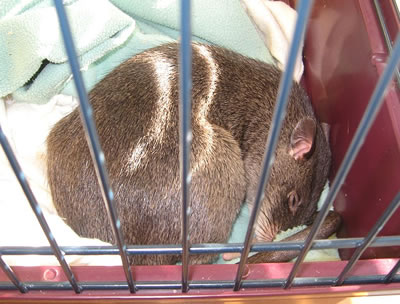 Gambian pouched rat pet, photo by Liftarn