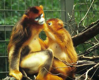 Golden snub-nosed monkeys, photo by Eva Hejda