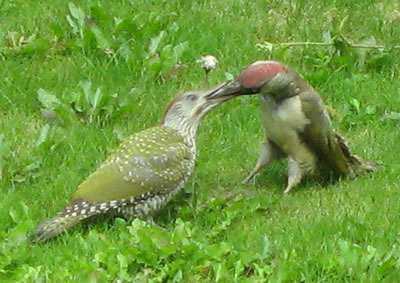 Green Woodpecker Feeding Young