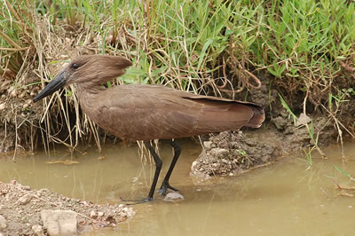Hammerkop; photo by Joachim Huber