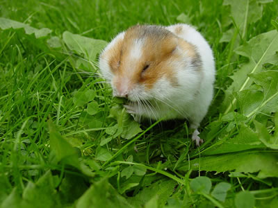Hamster, photo by Peter Maas