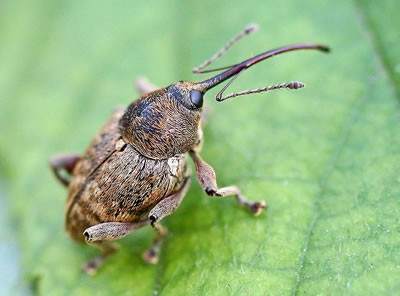 Hazelnut Weevil, photo by Entomart, Belgium