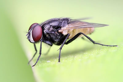House fly, photo by Muhammad Mahdi Karim