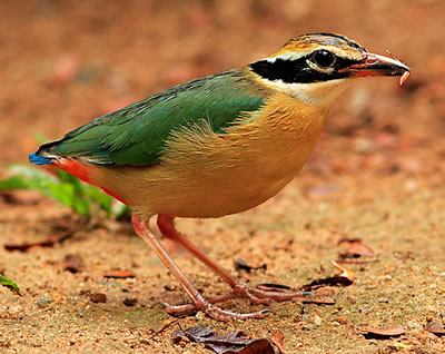 Indian Pitta, photo by Nidingpoothully