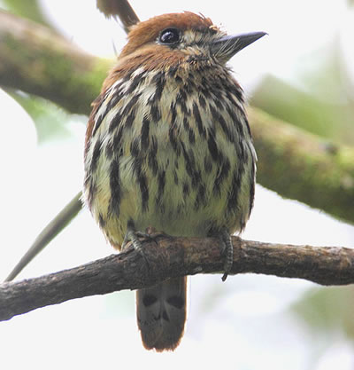 Lanceoled monklet, a species of puffbird, photo by Joel Rosenthal