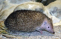 Lesser hedgehog tenrec, photo by Wilfried Berns