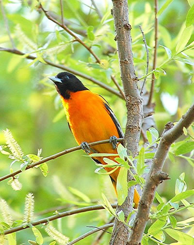 Male Baltimore oriole, photo by Joby Joseph