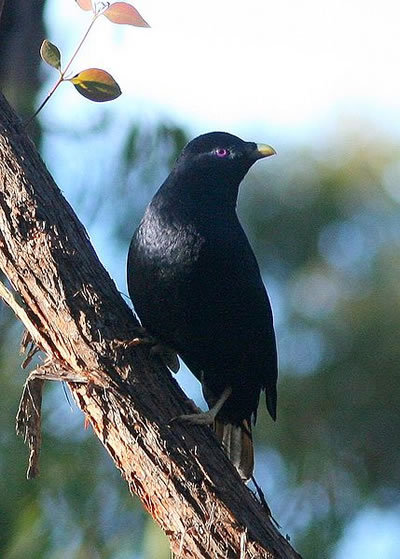 Male satin bowerbird, photo by Glen Fergus