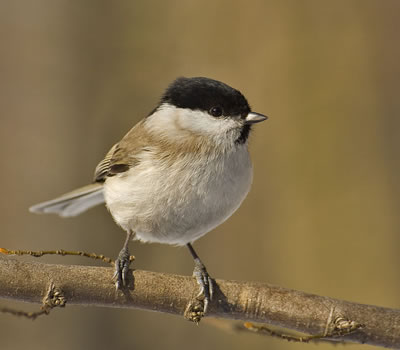 Marsh tit, photo by Sawomir Staszczuk