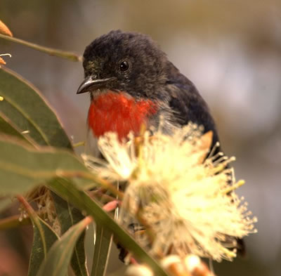 Mistletoebird, also known as the Australian flowerpecker; photo by Aviceda