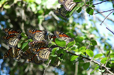 Monarch butterflies, photo by David R Tribble