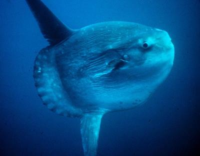 Ray Finned Bony Fish