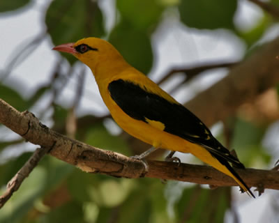 Old world oriole - Eurasian golden oriole, photo by JM Garg